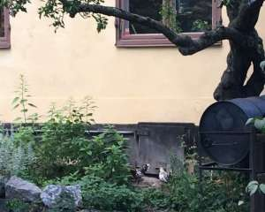 Höns på Södermalm 4